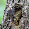 Brown-headed Nuthatch <br /> Point Lookout State Park <br /> St. Mary's County, Maryland <br /> 4/29/16