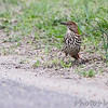 Brown Thrasher <br /> Point Lookout State Park <br /> St. Mary's County, Maryland <br /> 4/29/16