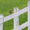 Eastern Meadowlark <br /> Foxes Point Lane <br /> St. Mary's County, Maryland <br /> 4/28/16