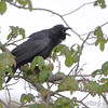 Common Raven  <br /> Point Lookout State Park <br /> St. Mary's County, Maryland <br /> 4/29/16