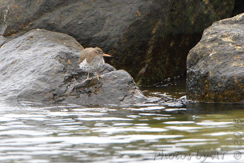 Spotted Sandpiper <br /> Point Lookout State Park <br /> St. Mary's County, Maryland <br /> 4/29/16