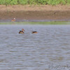 Northern Shovelers <br /> Cora Island road