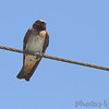 Cliff Swallow <br /> Cora Island road