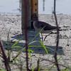 Solitary Sandpiper  <br /> Cora Island road
