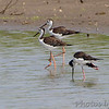 Black-necked Stilts <br /> Cora Island road