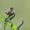Sedge Wren <br /> Riverlands Migratory Bird Sanctuary <br /> 2016-08-09