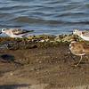 Sanderlings and Killdeer <br /> Ellis Bay <br /> Riverlands Migratory Bird Sanctuary <br /> 2016-08-07