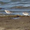 Sanderlings <br /> Ellis Bay <br /> Riverlands Migratory Bird Sanctuary <br /> 2016-08-07