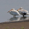 American White Pelicans <br /> Ellis Bay <br /> Riverlands Migratory Bird Sanctuary <br /> 2016-08-09