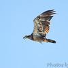Bald Eagle <br /> Flyover Teal Pond <br /> Riverlands Migratory Bird Sanctuary