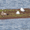 Laughing Gull (Juvenile) and Ring-billed Gulls <br /> Ellis Bay <br /> Riverlands Migratory Bird Sanctuary
