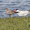 Laughing Gull (Juvenile) and Caspian Tern <br /> Ellis Bay <br /> Riverlands Migratory Bird Sanctuary