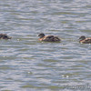 Gadwall <br /> Teal Pond <br /> Riverlands Migratory Bird Sanctuary