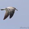 Laughing Gull (Juvenile) <br /> Flyover Teal Pond <br /> Riverlands Migratory Bird Sanctuary