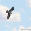 Caspian Tern <br /> Flyover Teal Pond <br /> Riverlands Migratory Bird Sanctuary