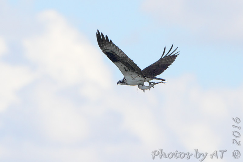 Osprey <br /> Leaving Teal Pond <br /> Riverlands Migratory Bird Sanctuary