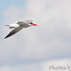 Caspian Tern <br /> Flyover Teal Pond <br /> Riverlands Migratory Bird Sanctuary