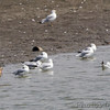 Marbled Godwit, Laughing Gull <br /> and Ring-billed Gulls  <br /> Ellis Bay <br /> Riverlands Migratory Bird Sanctuary