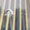Forster's Tern <br /> Ellis Bay <br /> Riverlands Migratory Bird Sanctuary