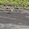 Buff-breasted Sandpiper <br /> Ellis Bay <br /> Riverlands Migratory Bird Sanctuary