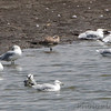 Laughing Gull and Ring-billed Gulls  <br /> Ellis Bay <br /> Riverlands Migratory Bird Sanctuary