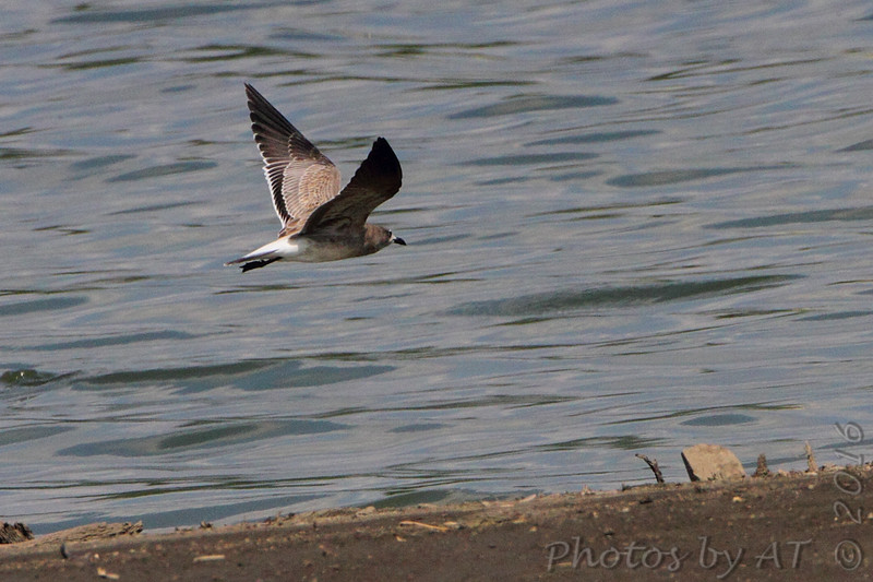 Laughing Gull <br /> Ellis Bay <br /> Riverlands Migratory Bird Sanctuary