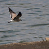 Laughing Gull <br /> Ellis Bay <br /> Riverlands Migratory Bird Sanctuary