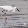Snowy Egret <br /> Ellis Bay <br /> Riverlands Migratory Bird Sanctuary