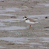 Semipalmated Plover <br /> Ellis Bay <br /> Riverlands Migratory Bird Sanctuary