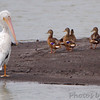 American White Pelicans and Mallards <br /> Ellis Bay <br /> Riverlands Migratory Bird Sanctuary