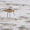 Marbled Godwit <br /> Ellis Bay <br /> Riverlands Migratory Bird Sanctuary