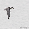 Black Tern <br /> Ellis Bay <br /> Riverlands Migratory Bird Sanctuary