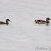 Mallards <br /> Ellis Bay <br /> Riverlands Migratory Bird Sanctuary