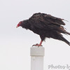 Turkey Vulture <br /> Riverlands Migratory Bird Sanctuary