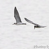 Black Terns <br /> Ellis Bay <br /> Riverlands Migratory Bird Sanctuary