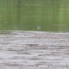 Stilt Sandpipers and Killdeer <br /> Ellis Bay <br /> Riverlands Migratory Bird Sanctuary