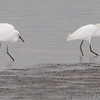 Snowy Egrets <br /> Ellis Bay <br /> Riverlands Migratory Bird Sanctuary