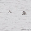 Red-throated and Common Loon <br /> Creve Couer Lake