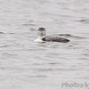 Common Loon <br /> Creve Couer Lake