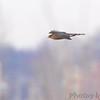 Cooper's Hawk <br /> Ellis Bay <br /> Riverlands Migratory Bird Sanctuary