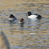 Common Goldeneye <br /> Below Melvin Price Dam (Illinois) <br /> Riverlands Migratory Bird Sanctuary