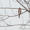 Cooper's Hawk <br /> Ellis Bay <br /> Riverlands Migratory Bird Sanctuary