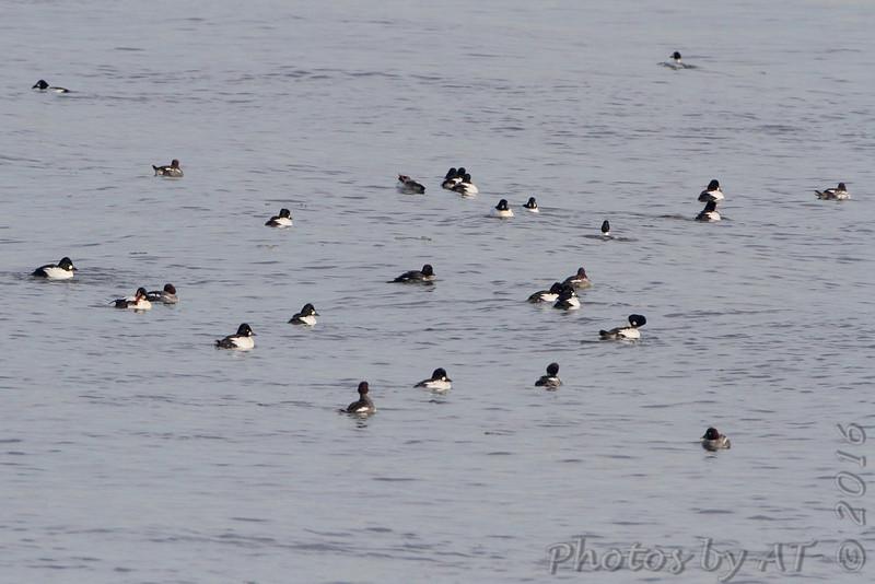 Common Goldeneye <br /> Below Melvin Price Dam (Illinois) <br /> Riverlands Migratory Bird Sanctuary
