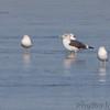 Lesser Black-backed Gulls  <br /> Ellis bay <br /> Riverlands Migratory Bird Sanctuary