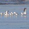 Lesser Black-backed Gulls (two) <br /> Ellis bay <br /> Riverlands Migratory Bird Sanctuary