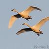 Tundra Swans <br /> Ellis bay <br /> Riverlands Migratory Bird Sanctuary