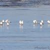 Book ends! <br /> Lesser Black-backed Gulls (two) <br /> Ellis bay <br /> Riverlands Migratory Bird Sanctuary