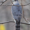 Cooper's Hawk <br /> Bridgeton, MO <br /> 12/07/16