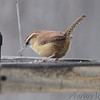 Carolina Wren <br /> Bridgeton, MO <br /> 12-09-16