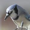 Blue Jay <br /> Bridgeton, MO <br /> 12/05/16